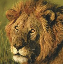 African wildlife - Lion